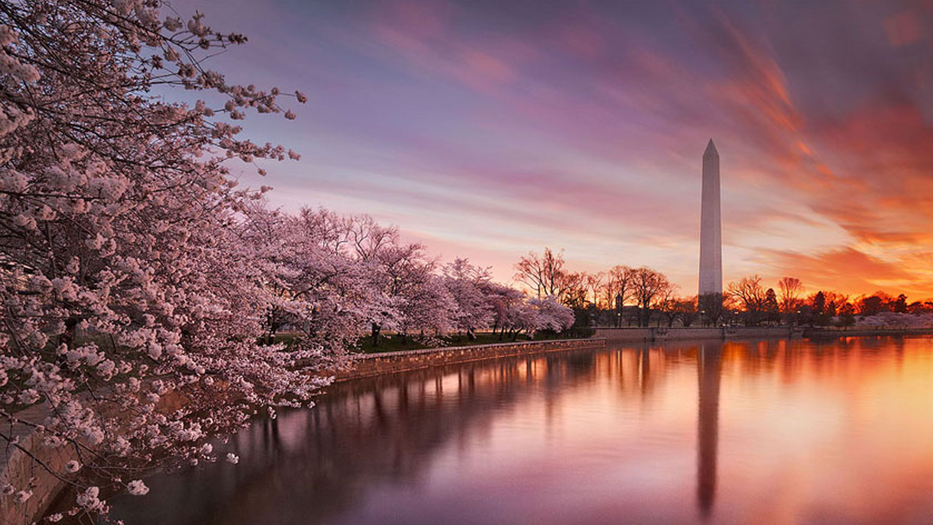 National Cherry Blossom Festival In Dc Book With Expedia Dealtaker,Perennials Plant With Purple Flowers And Green Leaves